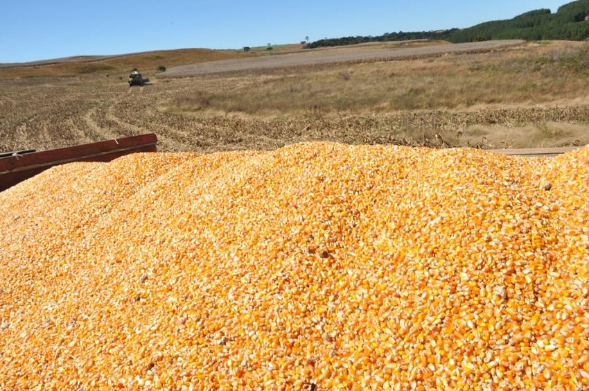 Coxilha Rica colhe safra recorde de cereais: cerca de 40 mil toneladas - 2021-05-03 17:06:55